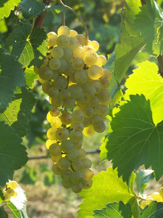 Chardonel grapes at the UMass Cold Spring Orchard Vineyard